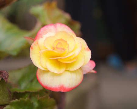 Pink rose beautiful