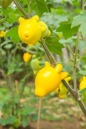 Nipplefluit growing in the garden   solanum lndo