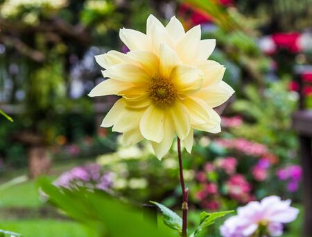 Beautiful Pink Dahlia Flower with Yellow Center  Stock Photo