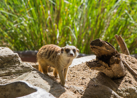 Young meerkat, careful look