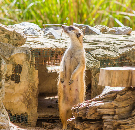 suricata suricatta: Young meerkat, standing at the zoo  Stock Photo
