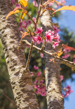 The Sakura or Phaya Sua Krong flower,Giant tiger flower in Thailand. soft and blurred focus.