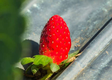 Berries of ripe strawberry laid out on a gray sheet in the farm ready for harvesting.