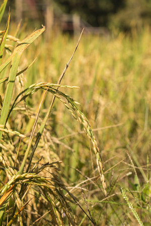 Close up of yellow rice. Spikelet of rice in the field or rice field in country, Thailand