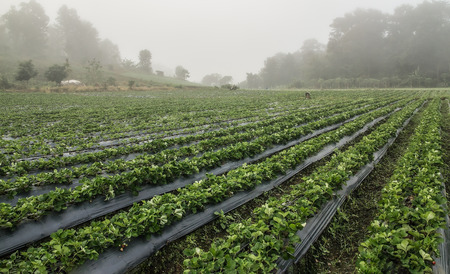 Agriculture farm green bush of strawberry field in the Morning at Chiangmai, Thailand