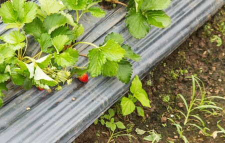 Berries of fresh strawberry laid out on a gray sheet in the farm outdoor ready for harvesting.