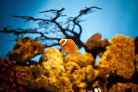 Clown fish Stock Photo - 21086464