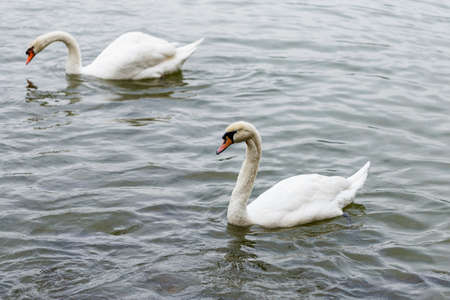 Swans swim together in the lake Standard-Bild