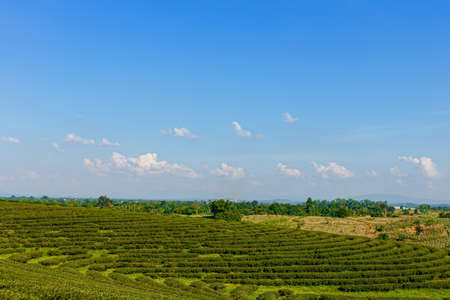Green tea plantation in Thailand