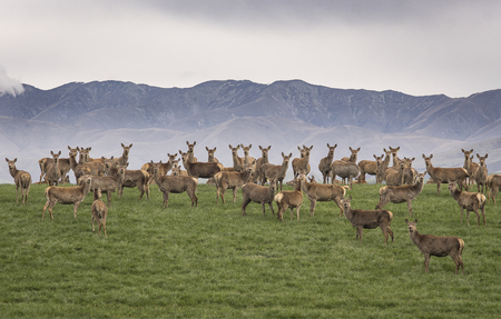 a large group of wild reindeer standing on green hill with mountain rages in background, looking at camera