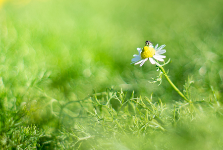 A bee is having nectar from white daisy flower, in garden. 版權商用圖片