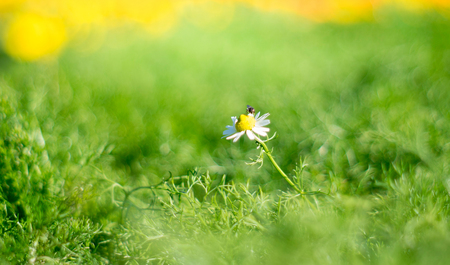 A bee is having nectar from white daisy flower, in garden. Stock Photo