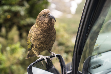 Kea bird on a car mirror in New Zealand, Milford Sounds