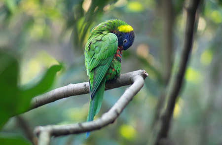 close up Australia Green rainbow wild Parrot or lorikeet, cleaning itself on a branch of tree in jungle