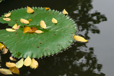 close up big lotus leaf with yellow fall leaves on still water river