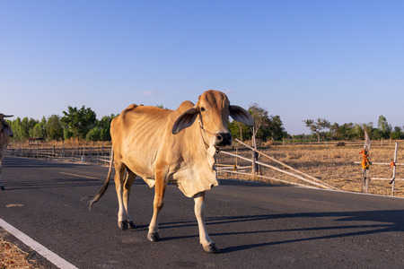 a cow walk on street passing rice field