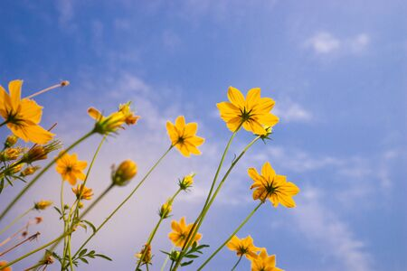 ant view Starburst flower on blue sky Stock Photo