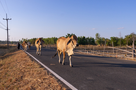group of cow walk on street passing rice field Imagens