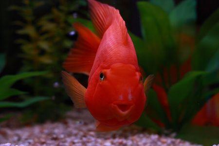 Goldfish in Tank facing Viewer