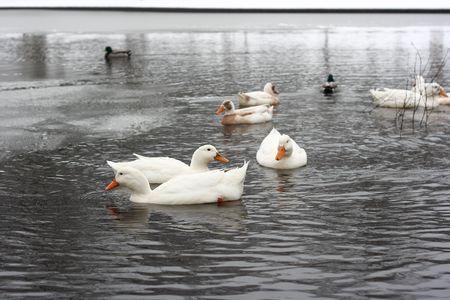 White ducks swimming in pond Imagens