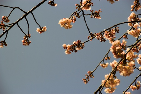 Tight shot of cherry blossoms with blue sky as background Stock Photo - 13249968
