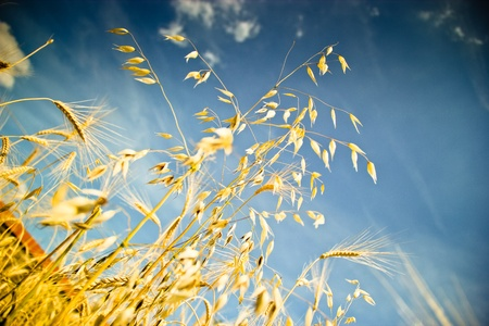 Gold wheat against a background of blue sky photo