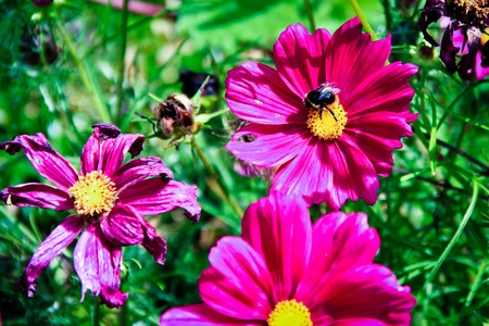 A bunch of pink flowers in full bloom with a bee collecting nectar