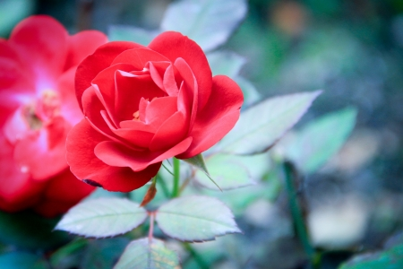 vegatation: A single red flower in full bloom against a background of leaves