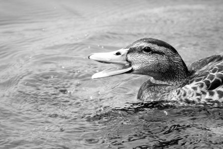 A river duck in the water eating in black and white photo