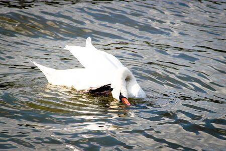 A white swan scratching in the water photo