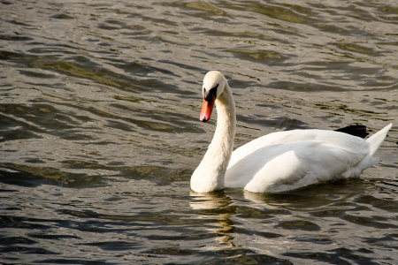A white swan swimming in the river photo