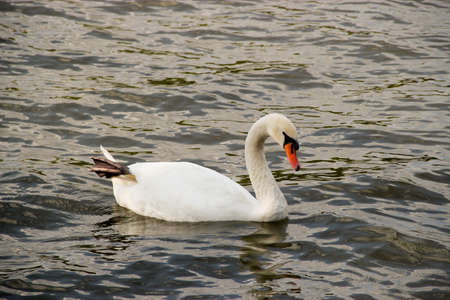 A white swan swimming in the river with one leg sticking up photo