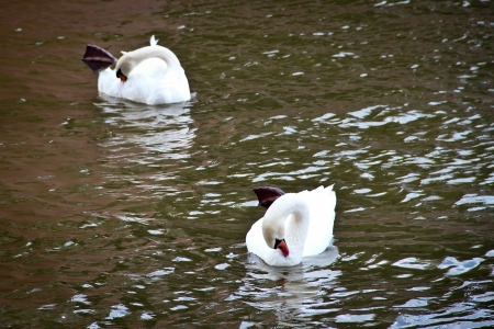 A pair of white swans in weird position in the river photo
