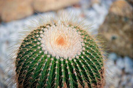 vegatation: Long thorns of a cactus in Penang Botanic Gardens