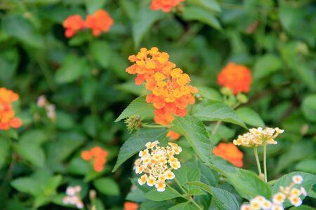 vegatation: Tiny orange flower buds against green leaves Stock Photo
