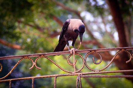innards: Crow eating the innards on a fence in Malaysia