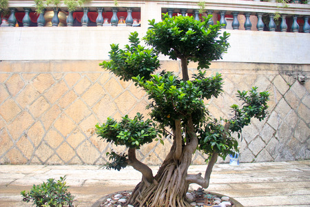 vegatation: A well pruned bonsai plant in a chinese temple