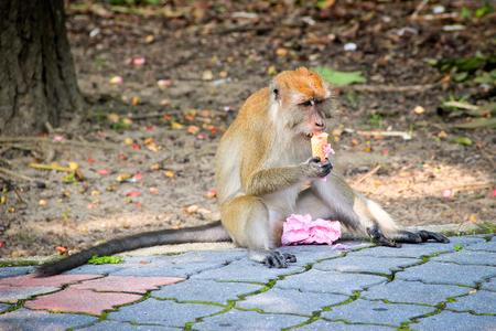 strawberry ice cream: Monkey enjoying strawberry ice cream Stock Photo
