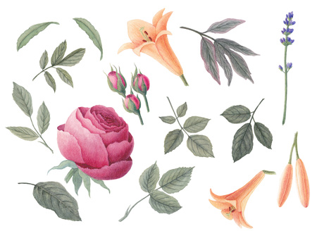 Watercolor vintage flower and leaves. Rose, lily and lavender. Floral illustration isolated on white background. Stock Photo