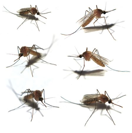 Six Isolated mosquitoes taken with a very close Macro lens