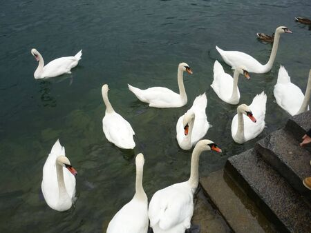 swans: Beautiful Swans