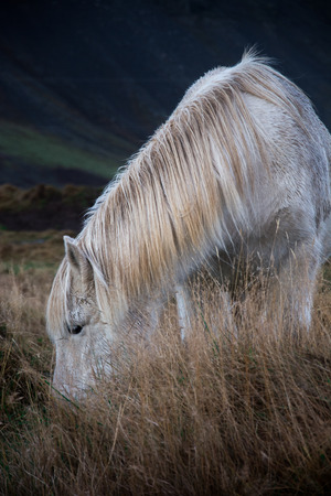 White wild horse on golden field
