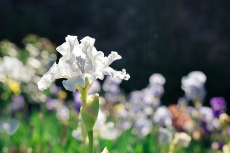 White Iris flower on green natural background