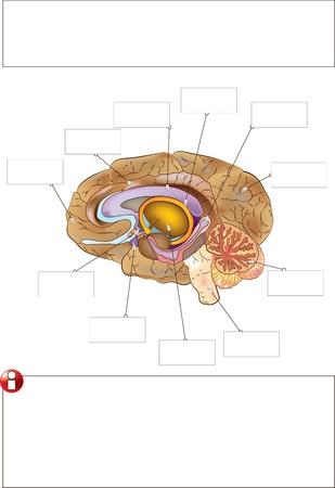 El cerebro humano Ilustración de vector