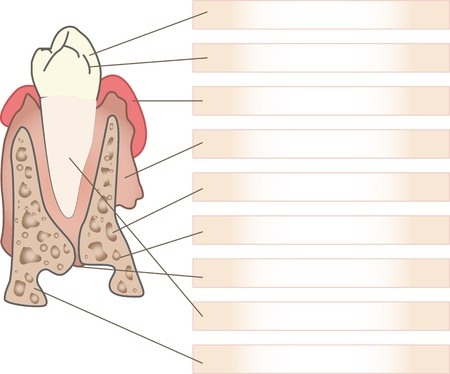 the tooth structure