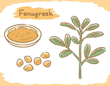 fenugreek seeds and plant isolated on white. Vector illustration.