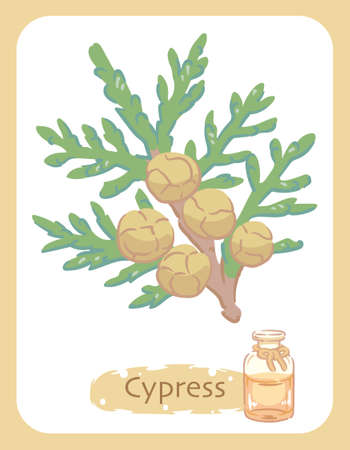 Illustration of cypress and aromatherapy bottle. Vector illustration.