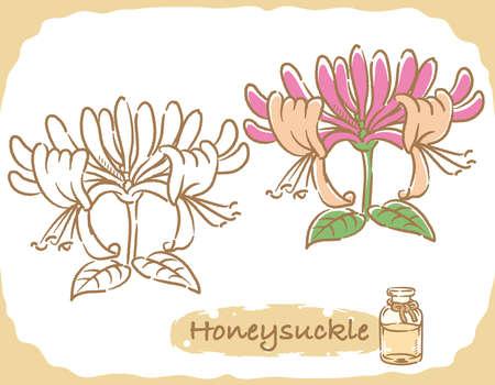 Illustration of honeysuckle and aromatherapy bottle. Vector illustration. Vettoriali