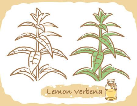 Illustration of lemon verbena and aromatherapy bottle. Vector illustration.