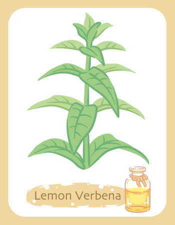 Illustration of lemon verbena and aromatherapy bottle. Vector illustration.